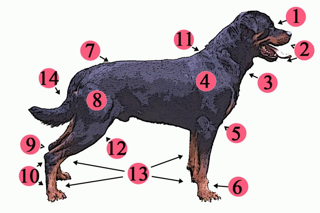 1024px-anatomy_dog