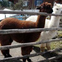 Tiere in Berg: A wie Alpaka