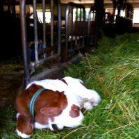 Neue Kühe braucht das Land