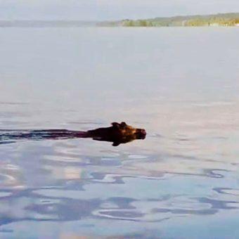 Die Wuidsau vom Starnberger See