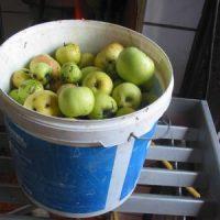 Goldner Tropfen quolls: In zehn Schritten zum eigenen Apfelsaft!