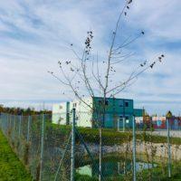 Das 8. Bäumchen: die Winterlinden vom Containerdorf