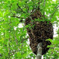 Pure Energie - Bienenschwarm bei Biberkor