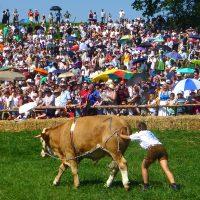 Hereintrabende Neuigkeiten: Baze gewinnt 6. Münsinger Ochsenrennen